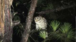 Download Having a Conversation With a Barred Owl at Night Video