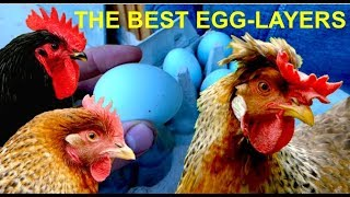 Download Top10 Best Egg-Layers of all CHICKEN BREEDS with Cream Legbar, Marans, Araucana, Leghorn eggs Video