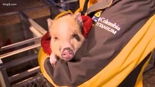Download Spring Fair: pig races! Video