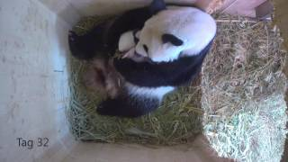 Download Panda Twins Day 7 to Day 79 Video
