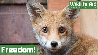 Download Orphaned fox cubs back to the wild! Video