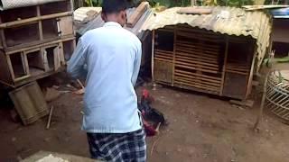 Download Ayam Bangkok Edan, Dijual Video