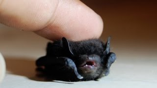 Download Tiny Baby BAT Rescue - M13 Video