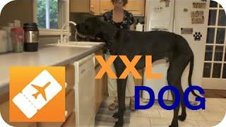 Download Amerika XXL: Der größte Hund der Welt | Riesige Tiere Video
