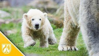Download Eisbärbaby in Gelsenkirchen: Nanook erkundet das Außengelände Video