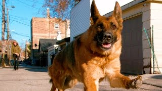 Download German Shepherd Dog Running In 4K Slow Motion ( Alsatian Shepherd Dog ) Video