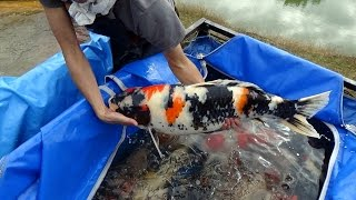 Download Pond Harvest Special koi. Video