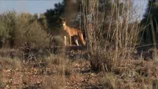 Download Dingo: Wild Dog At War Video