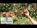 Download Rubyngo®, ecco le albicocche completamente rosse Video