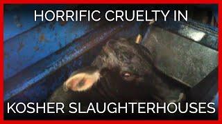 Download Horrific Cruelty Filmed in Kosher Slaughterhouses Video