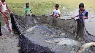 Download Pabda fish & Silver Carp fish Mixed Farming   Fisherman Catching Big carp fish with fishing net Video