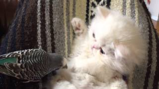 Download White Persian kitten interacts with friendly parrot Video
