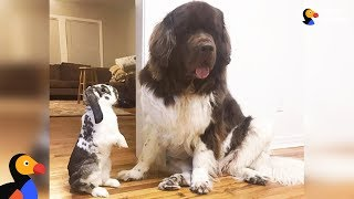 Download Bunny And Dogs Are The Best Of Friends - GIMLI & SAMWISE | The Dodo BEST FRIENDS DAY Video