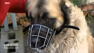 Download Germanischer Bärenhund - Gefährlicher Hund? Video