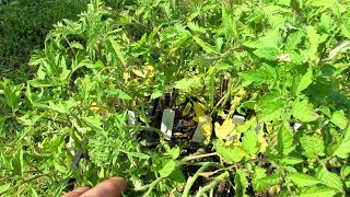 Download How to Save Stressed Tomato Transplants/Plants: Don't Panic, Make a Plan, Soluble Fertilizer Video