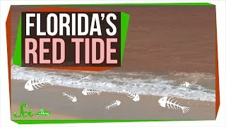 Download Why Florida's Red Tide Is Killing So Many Animals | SciShow News Video