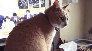 Download お母ちゃんが信玄餅の食べ方を実演【♀猫こむぎ&♂猫だいず】 Video