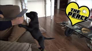 Download Puppy Labrador 1st Week at Home Destruction and Exploration - Cute Video