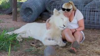 Download Walking with Lions, and Swimming with Tigers in South Africa Video