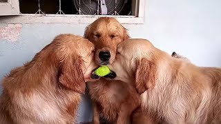 Download These golden retrievers will make you laugh your ASS OF - Funny dog compilation Video