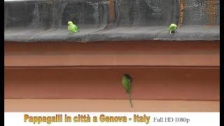 Download 🇮🇹 Pappagalli in città - Genova (Full HD 1080p) Video