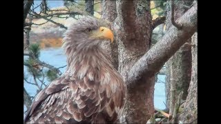 Download Smola Norway Eagles ~ Mom Dad & Solo All Come To The Nest! 11.17.17 Video