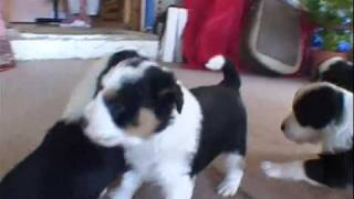 Download Border Collie Puppies Video