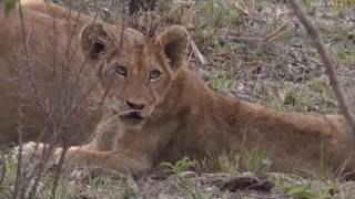 Download Pt 1 Wild Earth Live Sunset Safari Drive at 4:00 PM on Nov 22, 2016 ( Leopards & Lions ) Video