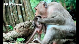 Download Mom Monkey Start Weaning Progress Made Baby Cry - BBlover 88 Video