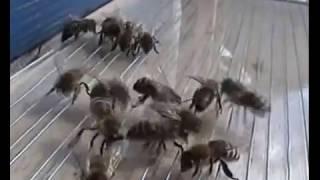 Download Sakupljač pčelinjeg otrova domaće proizvodnje Video