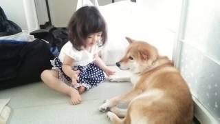 Download 柴犬と愛娘のふれあい Video