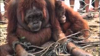 Download Deforestation: Indonesia's Palm Oil Crisis and Orangutans Video