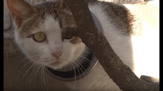 Download Cat With An Iron Hoop On Her Neck Starves But Feeds Her Kittens | Animal in Crisis EP43 Video