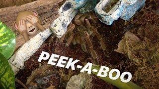 "Download I think my Goliath Birdeater TARANTULA wants to play ""PEEK-A-BOO"" (...well, kinda). Video"