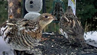 Download Two Ruffed Grouse Visit the Ontario FeederWatch Cam Video