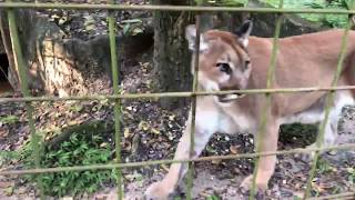 Download Q & A with Brittany - Big Cat Rescue Morning Walk 09192018 Video
