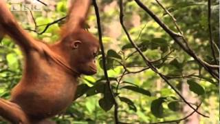 Download School's Out! | Orangutan Diary | BBC Video