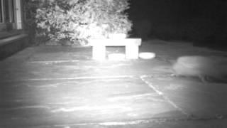 Download Hedgehog Street: The ARGIE-BARGIEST hedgehogs of all. Filmed by Erica Tasker in Nottinghamshire Video