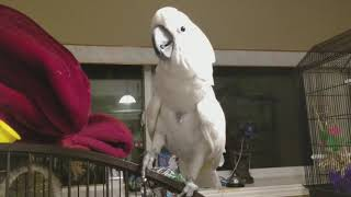 Download Cockatoo concert-Did You get your Ticket for Joseph's concert ? Cockatoo singing and dancing Video