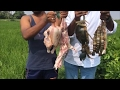 Download Awesome Village Food - Cooking Mixed NonVeg Curry Using Mutton, Chicken, Big Crab and Big Prawns Video