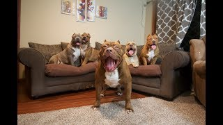 Download Best of WORLD FAMOUS GIANT FAMILY PIT BULL ″THE HULK″ part 1 Video