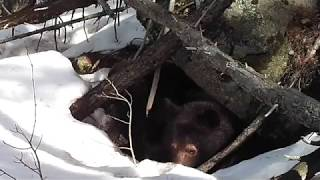 Download Bear cubs trying to leave den! (4/10/16) Video