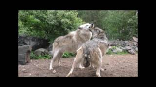 Download International Wolf Center - Learning the Routine - 19 June 2016 Video