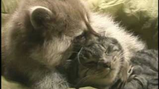 Download Raccoon and Cat Playing Video