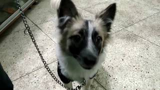 Download Spitz Dog @ Dr. Sagir's Pet Clinic 01912251312 Vet in Dhaka City Video