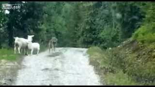 Download Wolf Attacks Sheep... Surprise! Video