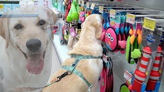 Download ENG SUB DOG HAUL I Got EVERYTHING that My Dog Chose 🐥 Shopping with Puppies Video