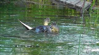 Download River Otter vs Snapping Turtle (warning...disturbing content) Video