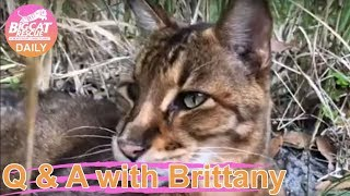 Download Cats Featured: Beacher Savannah, Simba Savannah, Flint Bobcat, Smalls Bobcat, Running Bear bobcat, Video