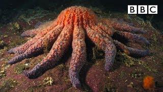 Download Zombie Starfish | Nature's Weirdest Events - BBC Video